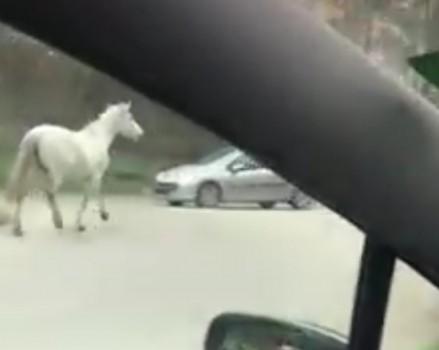 Бял кон препуска из Аспарухово