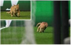 Котка нахлу на мач от Шампионската лига