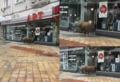 Овца тръгна на шопинг из центъра на Шумен
